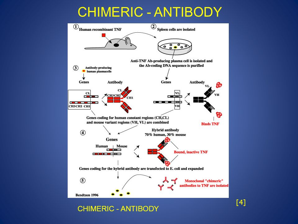 CHIMERIC - ANTIBODY hgedkwfwqkue [4] CHIMERIC - ANTIBODY